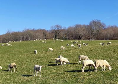 Des moutons sur les coteaux